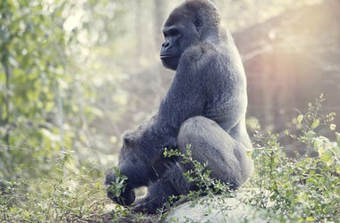Silverback, Gorilla, Animal,
