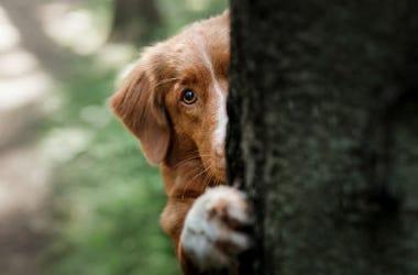 Peeking_Dog