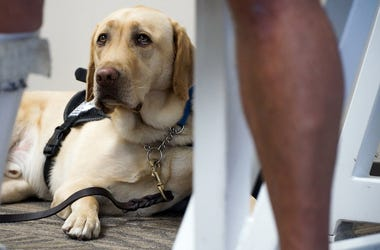 Service Dog, Emotional Support Animal