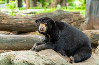 Malayan Sun Bear, Resting, Zoo