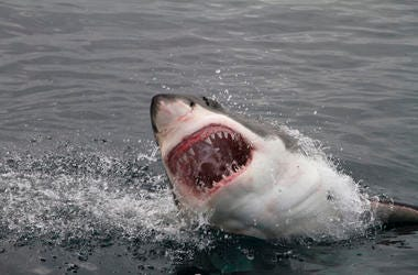 Great White, Shark, Attack, Teeth, Ocean