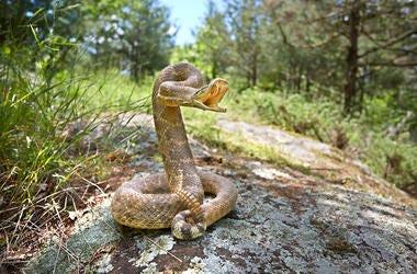 Rattlesnake, Outdoors, Forest, Rock, Bite, Teeth