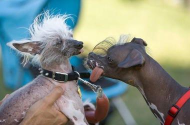 Worlds ugliest dog contest 2007