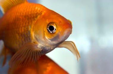 Goldfish, Fish, Pet, Bowl, Close Up