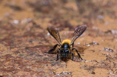 Giant, Honey Bee, Nature, Close