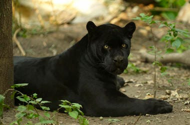 Black Jaguar, Shade, Lying Down, Tree