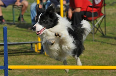 Dog, Border Collie, Jumping, Competition