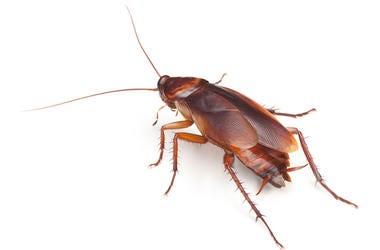Cockroach, Facing Away