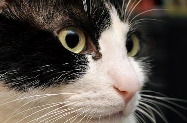 Cat, Face, Feline, Whiskers