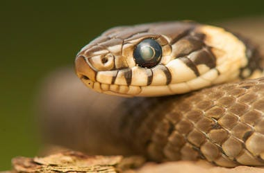 Snake, Close, Eye, Garden Snake