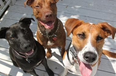 Happy, Dogs, Smiling