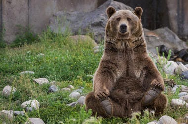 Grizzly Bear, Sitting, Zoo