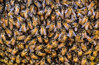 Bees, Working