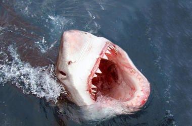 Shark, Great White, Bite, Attack, Teeth