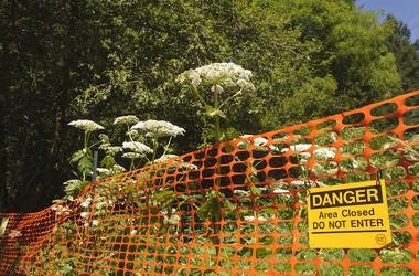 Giant Hogweed, Warning