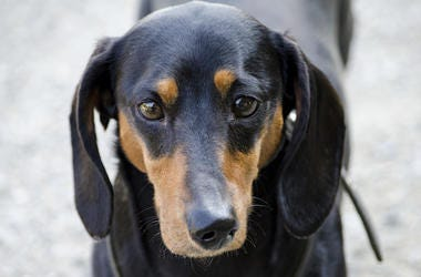 Dachshund, Crooked Snout