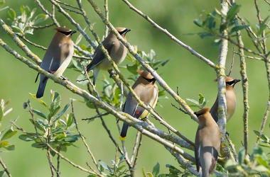 Cedar Waxwings, Birds, Tree, Branches