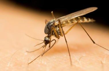 Mosquito, Bug, Skin