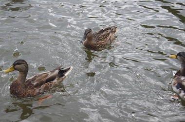 Ducks, Pond, Water, Ripples