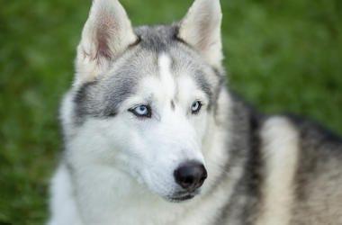 Siberian Husky, Dog, Face, Blue Eyes