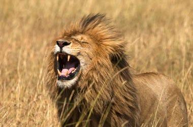 Lion in Masai Mara National reserve, Kenya, Africa