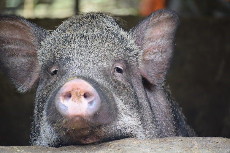 Pig, Cochon noir, Close Up, Snout