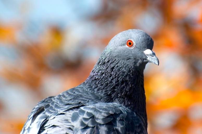 Pigeon, Rock Dove, Bird, Orange Eyes