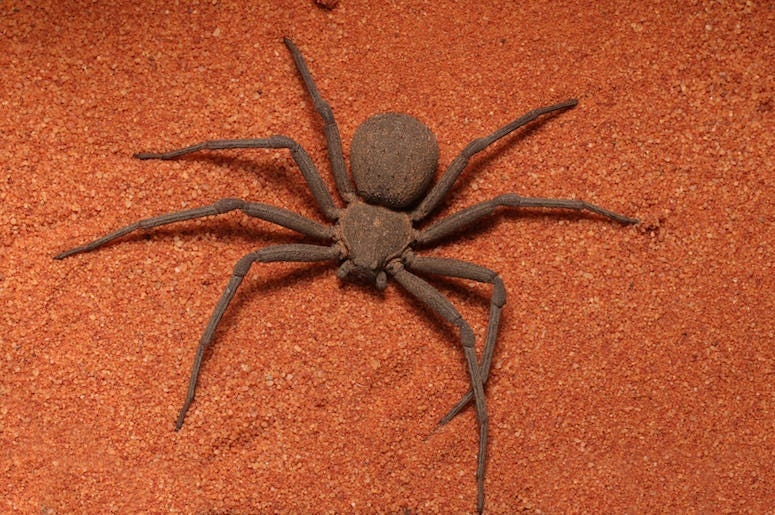 Six Eye Sand Spider