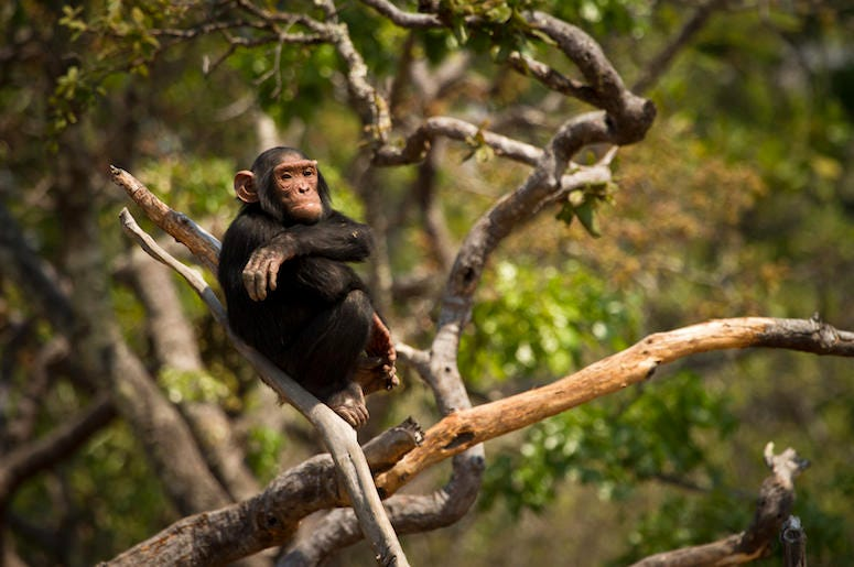 Chimpanzee, Wild, Animal, Forest, Tree, Arms Crossed