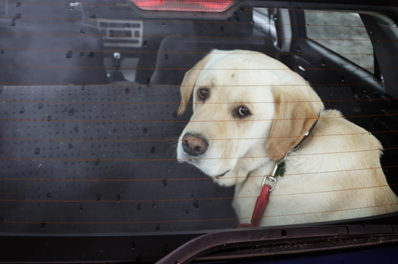 Dog, Sad Eyes, Locked Car, Window, Back Seat