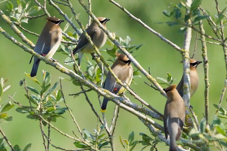 Cedar Waxwings, Birds, Tree, Branches