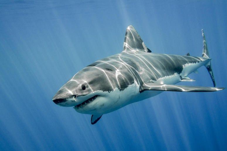 Great White, Shark, Swimming, Ocean