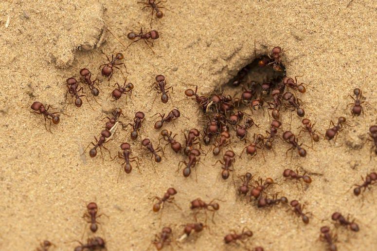 Ants, Anthill, Swarm