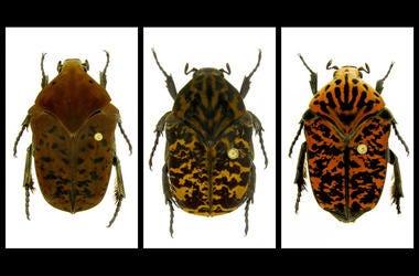 Gymnetis drogoni, Gymnetis rhaegali and Gymnetis viserioni beetles from South America.