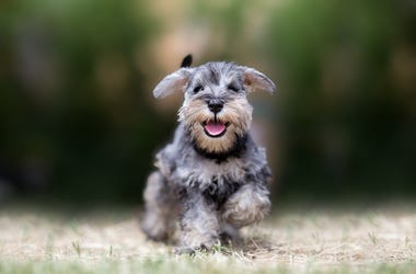 Miniature puppy Schnauzer at Play