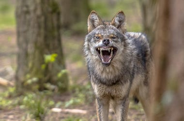 Coyote, Forest, Tree, Snarl, Teeth