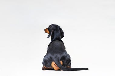 Dachshund, Tail, Behind