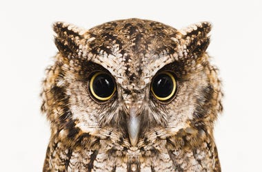 Owl, Eyes, High Resolution