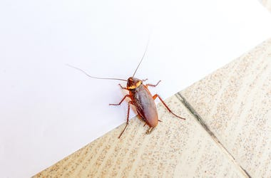 Cockroach, Tiled Floor, White Wall