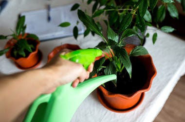 Potted Plant, Watering, Plant
