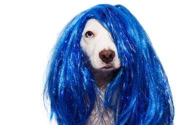 DOG CARNIVAL OR NEW YEAR COSTUME. TERRIER WEARING A BLUE WIG DISGUISE PARTY. ISOLATED ON WHITE BACKGROUND.