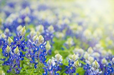 Bluebonnets, Pasture, Field, Texas Bluebonnets