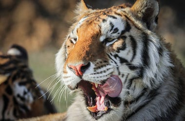 One of the 39 tigers rescued in 2017 from Joe Exotic's G.W. Exotic Animal Park relaxes at the Wild Animal Sanctuary on April 5, 2020 in Keenesburg, Colorado.