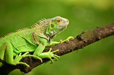 Iguana, Lizard, Tree