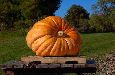 Pumpkin, Large, Halloween, Fall, Field, Display