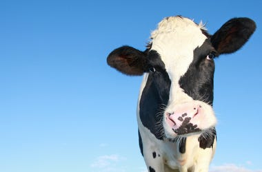 Holstein Cow, Blue Sky, Cow, Moo