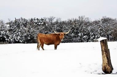 Snow, Field, Cattle, Longhorn, Texas