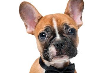 French Bulldog puppie wearing a bowtie