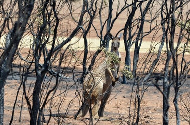 Kangaroo, Bushfire, Burnt Trees