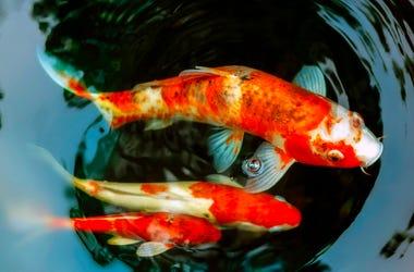 Koi Fish, Pond, Water, Fish, Orange